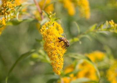 Honey Bee Image 1