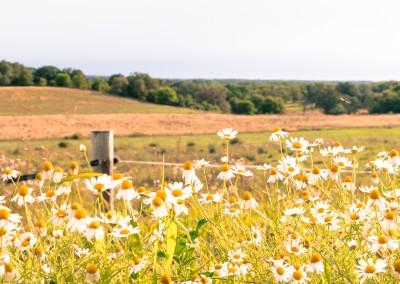 Wisconsin Roadside Flowers